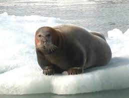 bearded-seal